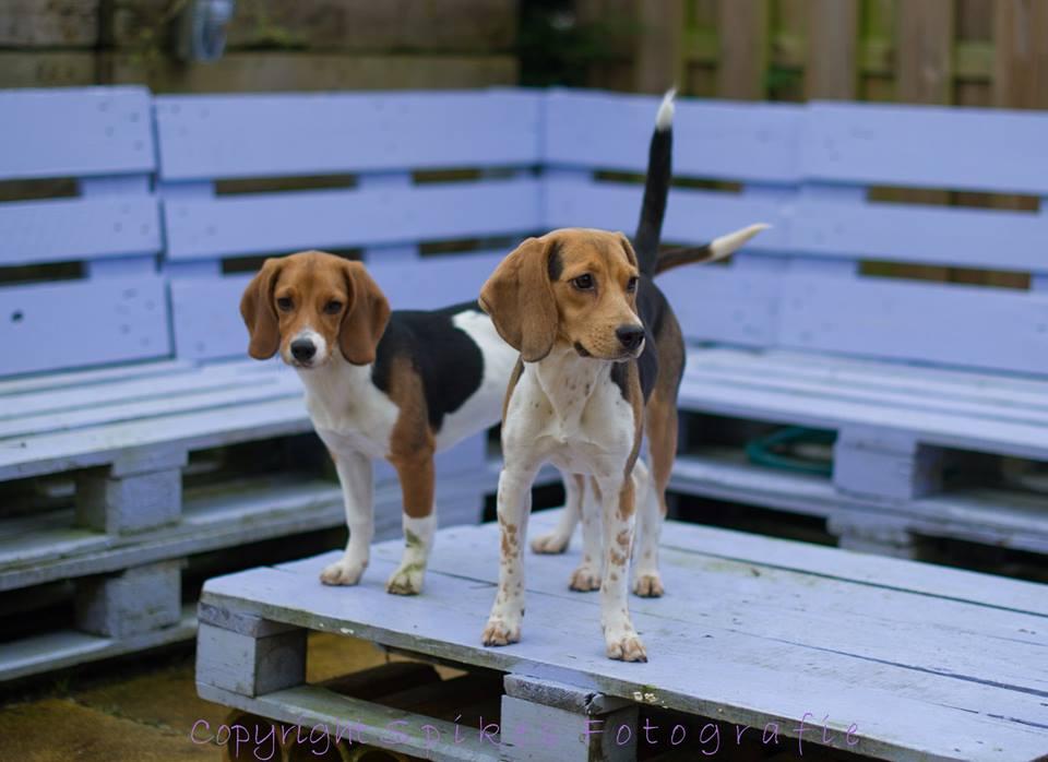 Vrijkomen nieuwe groep beagles
